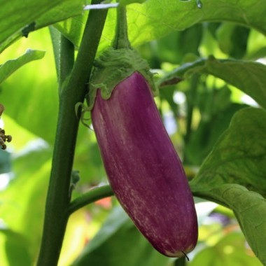 deaflora aubergine kashmiri brinjal. Black Bedroom Furniture Sets. Home Design Ideas