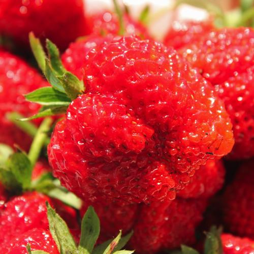 wann pflanze ich erdbeeren