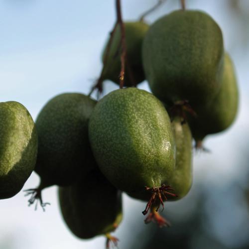 deaflora mini kiwi julie weiblich pflanze. Black Bedroom Furniture Sets. Home Design Ideas