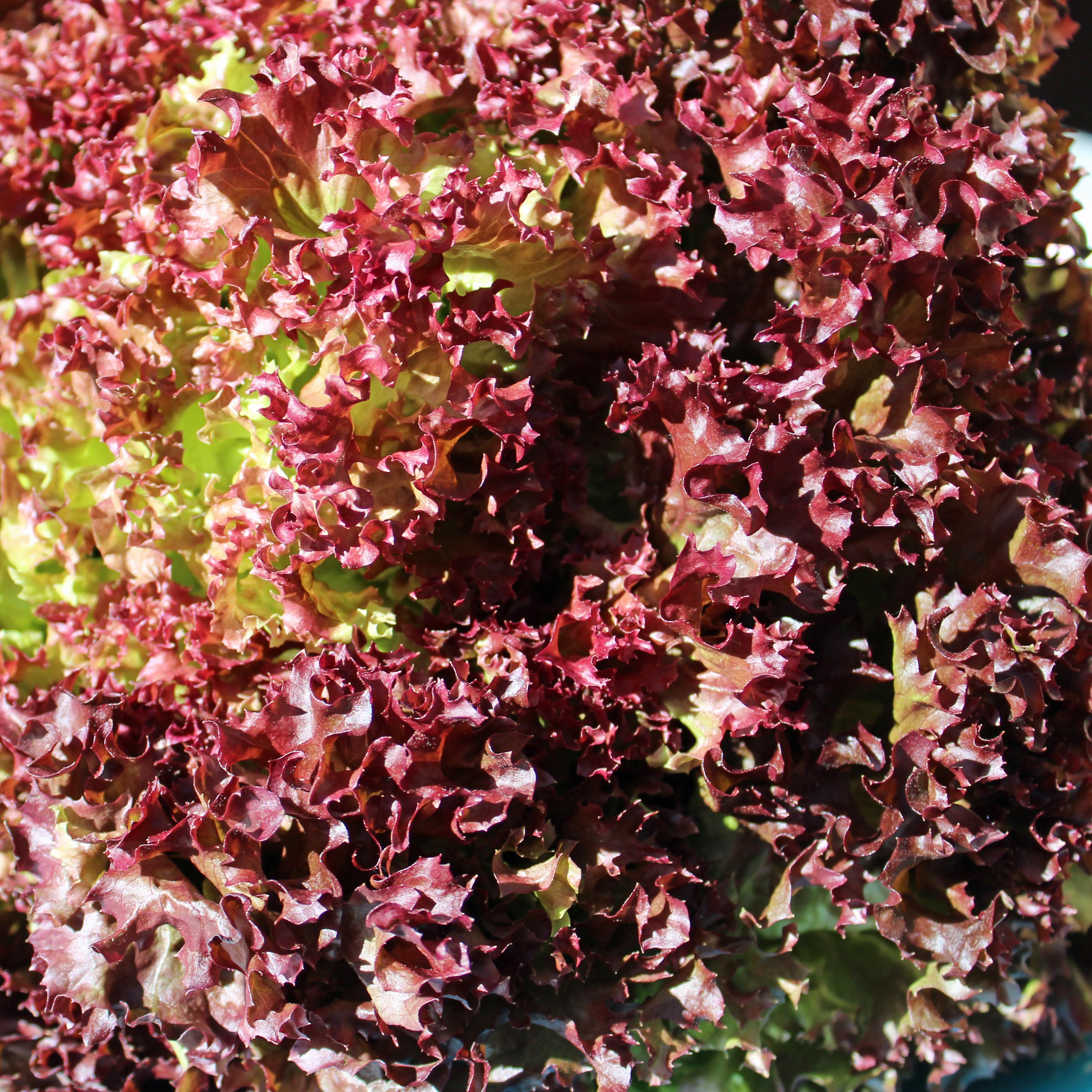 deaflora salat lollo rosso. Black Bedroom Furniture Sets. Home Design Ideas