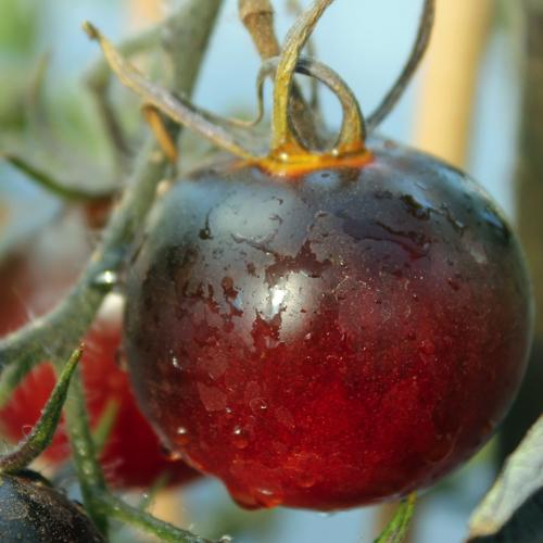 Deaflora Tomaten
